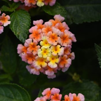 Lantana Lucky Peach by Ball Flora - Year of the Lantana - National Garden Bureau