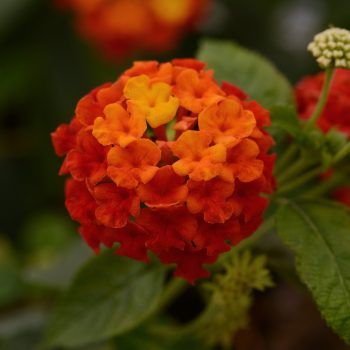 Lantana Lucky Red by Ball Flora - Year of the Lantana - National Garden Bureau