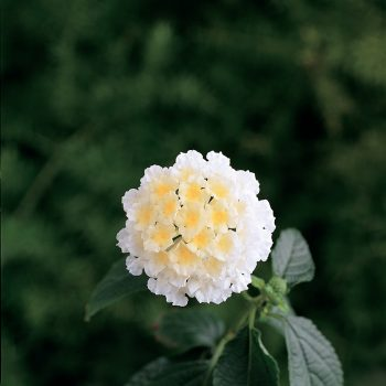 Lantana Lucky White by Ball Flora - Year of the Lantana - National Garden Bureau