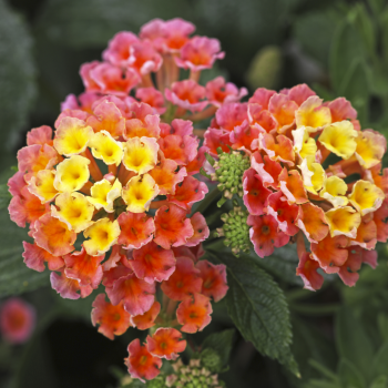 Lantana Peach Nectar™ by Westhoff - Year of the Lantana - National Garden Bureau