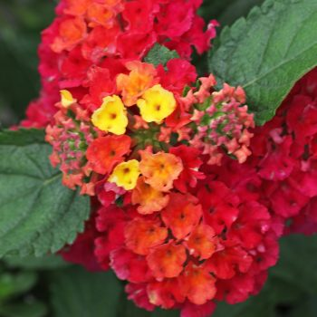 Lantana Raspberry Nectar™by Westhoff - Year of the Lantana - National Garden Bureau