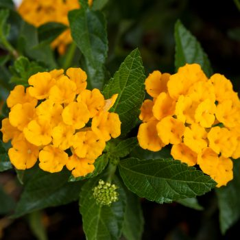 Lantana Santana Gold by Danziger - Year of the Lantana - National Garden Bureau