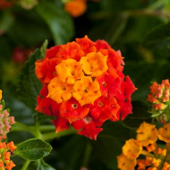 Lantana Santana Red Orange by Danziger - Year of the Lantana - National Garden Bureau