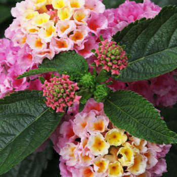 Lantana Strawberry Nectar™ by Westhoff - Year of the Lantana - National Garden Bureau