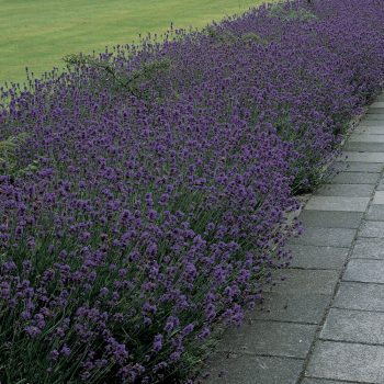 Lavender Munstead by Parkseed - Year of the Lavender - National Garden Bureau