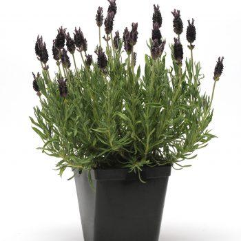 Lavender Anouk Supreme by Darwin Perennials - Year of the Lavender - National Garden Bureau