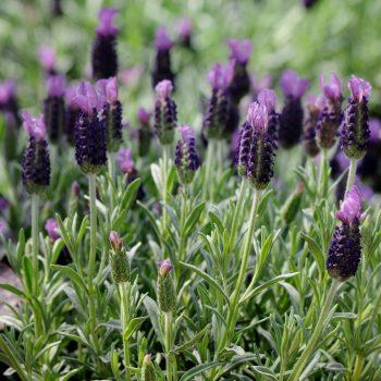 Lavender Anouk by Darwin Perennials - Year of the Lavender - National Garden Bureau