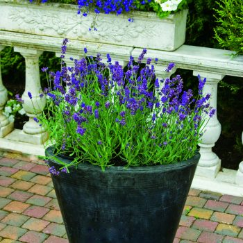 Lavender Aromatico Blue by Syngenta Flowers - Year of the Lavender - National Garden Bureau