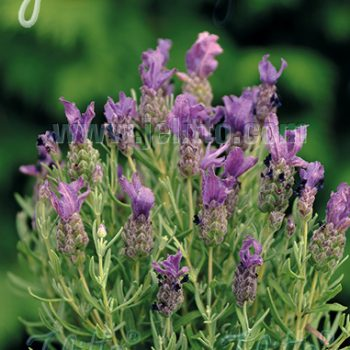 Lavender Bandera Purple Portion by Jelitto - Year of the Lavender - National Garden Bureau