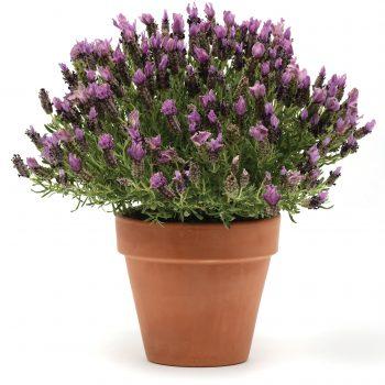 Lavender Bandera Purple by Garden Trends - Year of the Lavender - National Garden Bureau