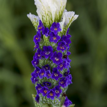 Lavender Castilliano White by Syngenta Flowers - Year of the Lavender - National Garden Bureau