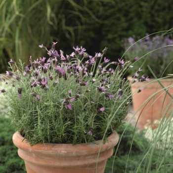 Lavender Castilliano Violet by Syngenta Flowers - Year of the Lavender - National Garden Bureau