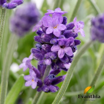 Lavender Cleo Patio by Evanthia - Year of the Lavender - National Garden Buruea