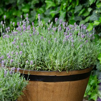 Lavender Cleo Patio by Evanthia - Year of the Lavender - National Garden Bureau