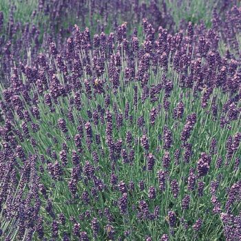 Lavender Hidcote Blue by Garden Trends - Year of the Lavender - National Garden Bureau