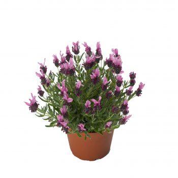 Lavender Javelin Forte Deep Rose by Syngenta Flowers - Year of the Lavender - National Garden Bureau