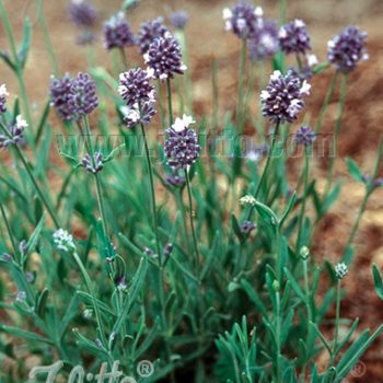 Lavender Lady Portion by Jelitto - Year of the Lavender - National Garden Bureau