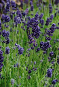 Lavender Lavance Deep Purple by Garden Trends - Year of the Lavender - National Garden Bureau