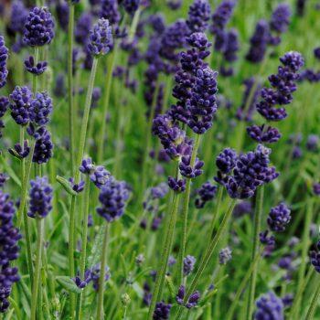 Lavender Lavance Deep Purple by Garden Trends - Year of the Lavender - National Garden Bureau