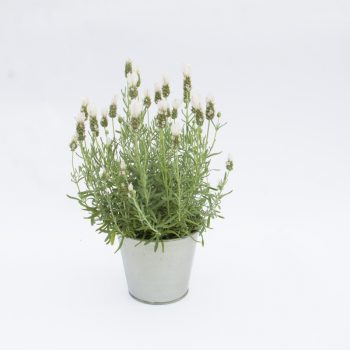 Lavender LeVela Compact White by Selecta - Year of the Lavender - National Garden Bureau