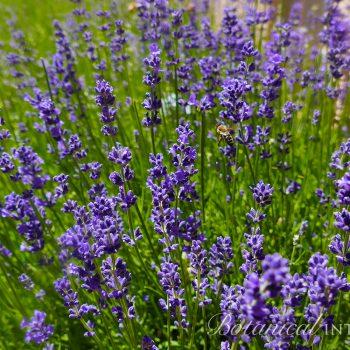 Lavender Munstead by Botanical Interests - Year of the Lavender - National Garden Bureau