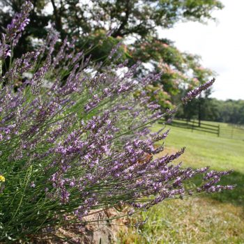 Lavender Phenomenal by Peace Tree Farm - Year of the Lavender - National Garden Bureau