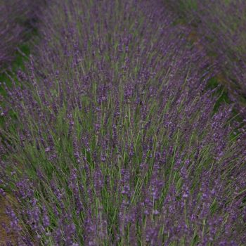 Lavender Phenomena by Peace Tree Farm - Year of the Lavender - National Garden Bureau
