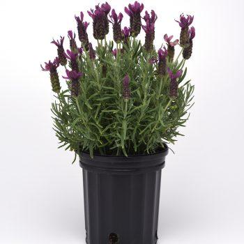 Lavender Primavera by Darwin Perennials - Year of the Lavender - National Garden Bureau