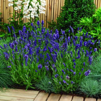 Lavender Purple Ellagance by Jung Seed Co - Year of the Lavender - National Garden Bureau
