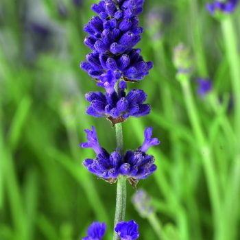 Lavender Scent Blue Early by Syngenta Flowers - Year of the Lavender - National Garden Bureau
