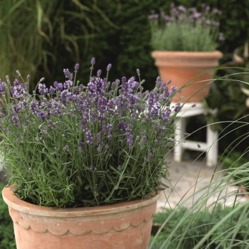 Lavender Scent Blue by Syngenta Flowers - Year of the Lavender - National Garden Bureau