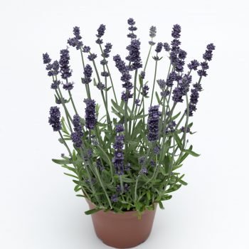 Lavender Sentivia Early Blue by Syngenta Flowers - Year of the Lavender - National Garden Bureau