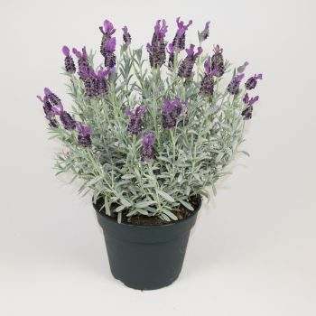 Lavender Silver Anouk by Darwin Perennials - Year of the Lavender - National Garden Bureau