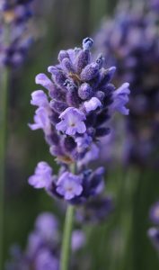 Lavender Super Blue by Darwin Perennials - Year of the Lavender - National Garden Bureau