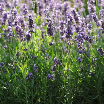 Lavender Super Blue by Darwin Perennials - Year of the Lavender - National Garden Bureau - English Lavender
