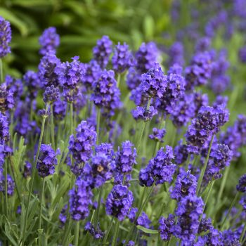Lavender Sweet Romance by Proven Winners - Year of the Lavender - National Garden Bureau