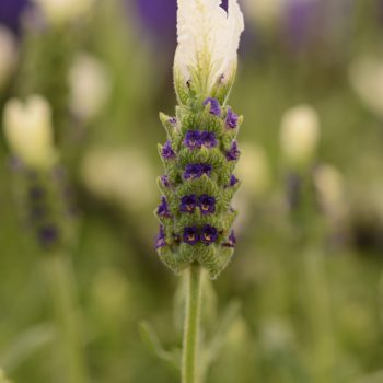 Lavender White Anouk by Darwin Perennials - Year of the Lavender - National Garden Bureau
