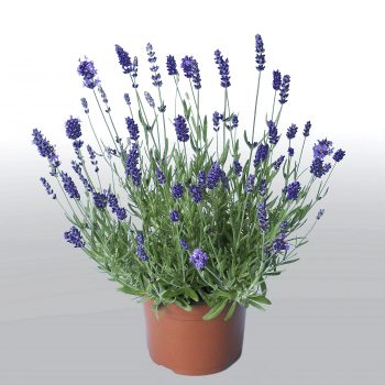 Lavender Angustifolia Promise by Hem Genetics - Year of the Lavender - National Garden Bureau