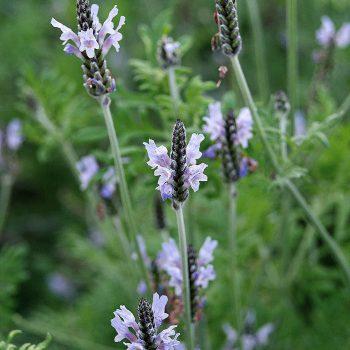 Lavender Multifida Torch Mintylce by Hem Genetics - Year of the Lavender - National Garden Bureau