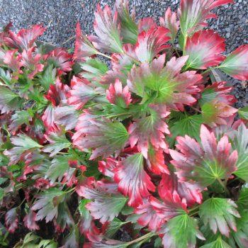 Mukdenia Crimson Fans ('Karasuba')a perennial showing fall color - National Garden Bureau
