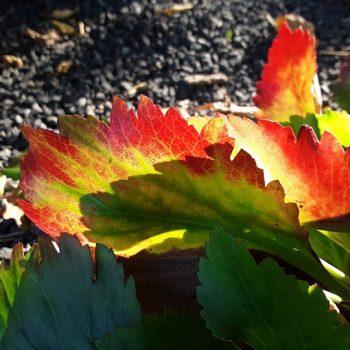Mukgenia NOVA® 'Flame' in fall color - National Garden Bureau