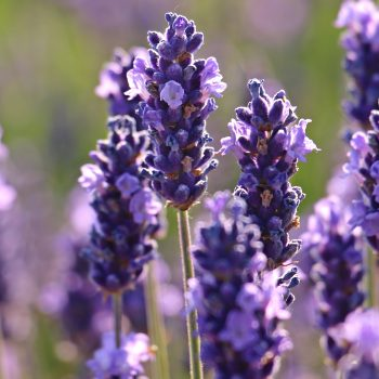 Spanish Lavender Flower