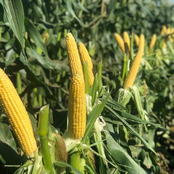Corn Alliance by Illinois Foundation Seeds - Year of the Corn - National Garden Bureau