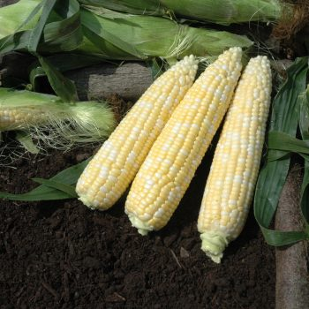 Corn Signature by Illinois Foundation Seeds - Year of the Corn - National Garden Bureau