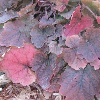 Tiarella 'Brandywine' with Nov. color - National Garden Bureau