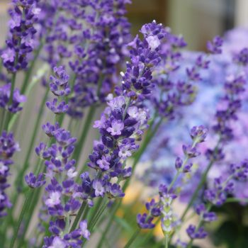 Lavender Big Time Blue by Concept Plants - Year of the Lavender - National Garden Bureau