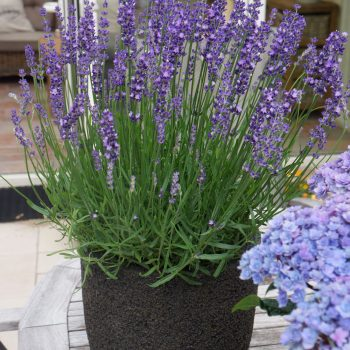 Lavender Big Time Blue Patio by Concept Plants - Year of the Lavender - National Garden Bureau