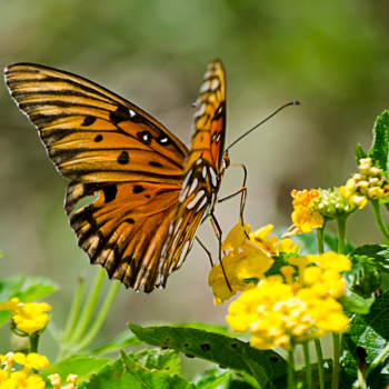 Pollinators love Lantana - Year of the Lantana - National Garden Bureau
