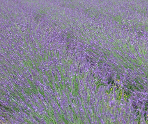 Peace Tree Lavender - Year of the Lavender Ad