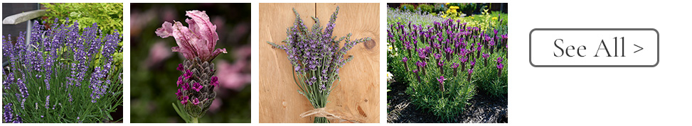 Year of the Lavender - English, Spanish, French Varieties make Lavender perfect for all gardens - National Garden Bureau